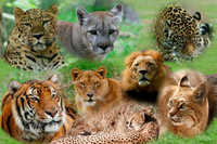 Nature: What is your favorite Wild Cat?